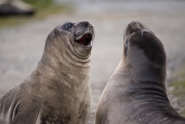 Two weaners (elephant seal pups) sparring