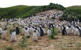 Young Gentoo Penguins at the colony