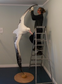 Gemma cleaning the wandering albatross in the Carr Maritime Gallery.