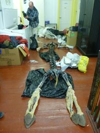 Assembling the skeleton of a three tonne elephant seal out of the freezer of dead things