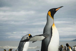 The king penguins at St Andrews Bay were a birthday treat