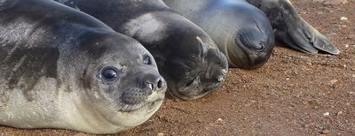 We've said goodbye to the Elephant Seal weaners