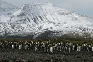 King penguin colony at Fortuna