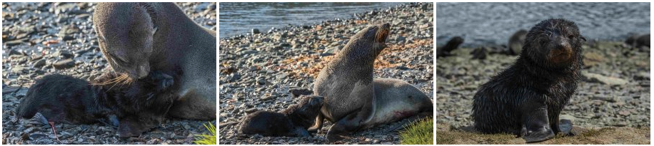 Protected: Birth of a Fur seal pup – January 2021